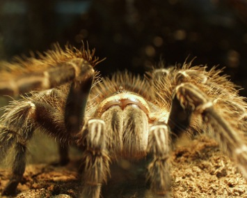 Close up of big hairy spider
