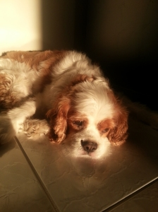 Beautiful cavalier king charles spaniel