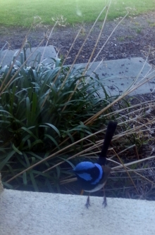 beautiful blue wren on window sill