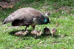 peahen with peachicks